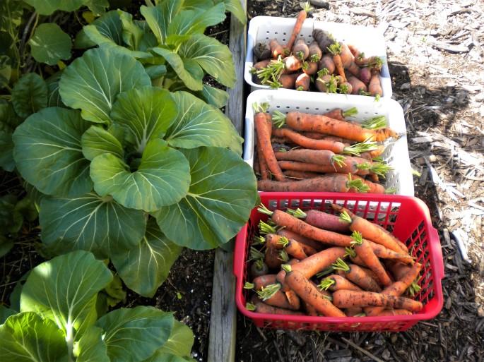 carrots (5)